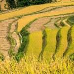 Terraces of rice — Stock Photo
