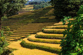 Field of rice terraces — Stock Photo