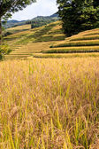 Rice fields in the south of China — Stock Photo