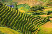 Beautiful rice terrace upon a hill — Stock Photo