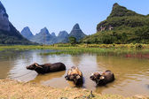Cows cooling down in water in Asia — Stock Photo