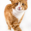 Red cat, walking towards camera, isolated in white — Stock Photo #25317715
