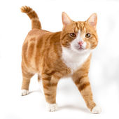 Red cat, walking towards camera, isolated in white — Stock Photo