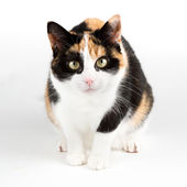 Cat looking curious into the camear, isolated in white — Stock Photo