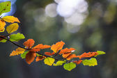 Colorful autumn leaves on tree branch — Stock Photo