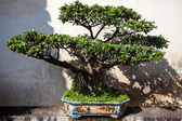 Traditional chinese garden with bonsai tree — Stock Photo