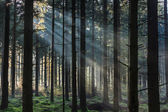 Morning light shining through the trees in a forest — Stock Photo
