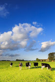 Cows grazing on a grassland in a typical dutch landscape — Stock Photo