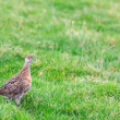 Постер, плакат: Pheasant female bird standing in grassland