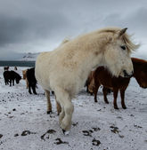 Cheval blanc en hiver — Photo