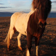 Icelandic horses — Stock Photo #36036067