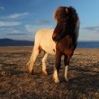 Icelandic horses — Stock Photo #36036079