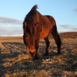 Icelandic horses — Stock Photo #36036171