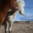 Icelandic horses — Stock Photo #36036209