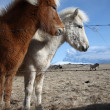 Stock Photo: Icelandic horses