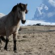 Icelandic horses — Stock Photo #36036235