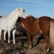 Icelandic horses — Stock Photo #36036267