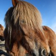 Icelandic horses — Stock Photo #36036293