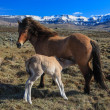Icelandic horses — Stock Photo #36036305