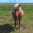 Icelandic horses — Stock Photo #36036311