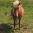Icelandic horses — Stock Photo #36036313