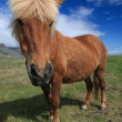 Icelandic horses — Stock Photo #36036355