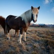 Stock Photo: Icelandic Pony Stallion in profile