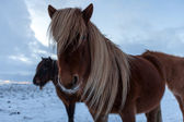 Flock of Icelandic horses grazing in the meadow — Stock Photo