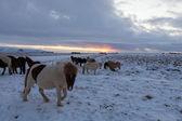 Flock islandshästar som betar på ängen — Stockfoto