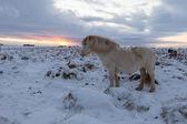 Kudde van ijslandse paarden grazen in de wei — Stockfoto