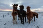 Icelandic horse - Stock Photo — Stock Photo