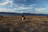 Islandzki koni — Zdjęcie stockowe