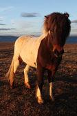 Icelandic horses — Zdjęcie stockowe