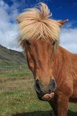 Cavalli islandesi — Foto Stock