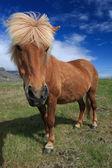 Icelandic horses — Stock Photo