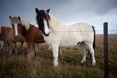 Cavallo islandese — Foto Stock