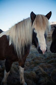 Icelandic Pony Stallion in profile — Stock Photo