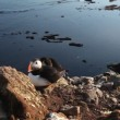 Puffins on rock West Fjord, Iceland — Stock Video #38137407