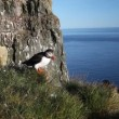 Puffins on rock West Fjord, Iceland — Stock Video #38137471