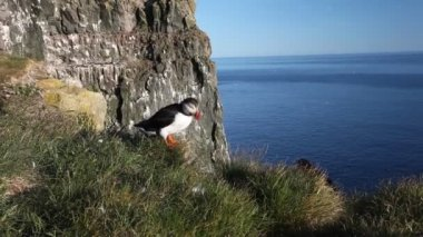 Puffins on the rock West Fjord, Iceland — Stockvideo
