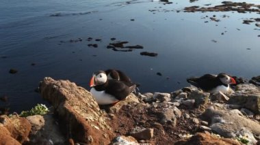 Puffins on the rock West Fjord, Iceland — Stock video