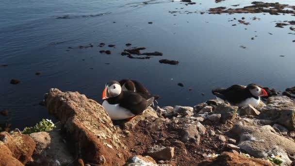 Macareux dans le fjord de west rock, islande — Vidéo