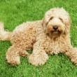 Labradoodle in grass - Stockfoto