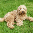 Labradoodle in grass - Foto Stock