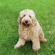 Labradoodle in grass - Foto de Stock  