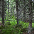 Mysterious alpine forest — Stock Photo