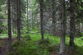 Mystérieuse forêt alpine — Photo