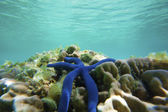 Blue star fish — Foto Stock