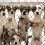 Sled Dog Puppies — Stock Photo