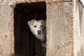 Sled Dog In Plywood Kennel — Stock Photo
